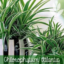 chlorophytum Atlantic