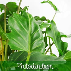 philodendron feuillage
