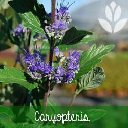 caryopteris