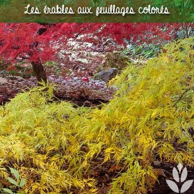 les érables au feuillage colorés
