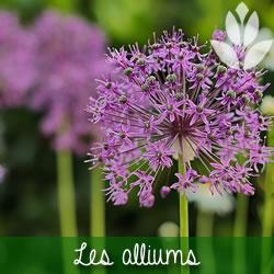 les alliums à floraison printanière