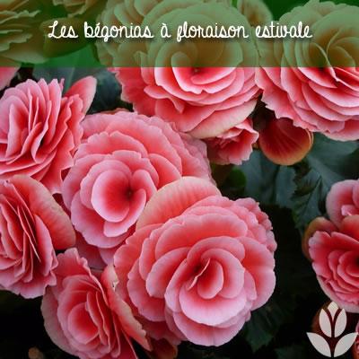 bégonias à floraison estivale