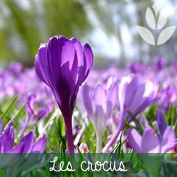 les crocus à floraison printanière