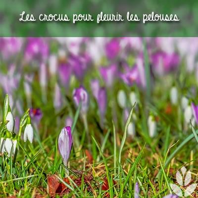 crocus pour fleurir les pelouses