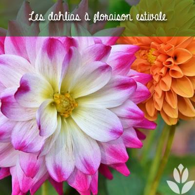 dahlias à floraison estivale