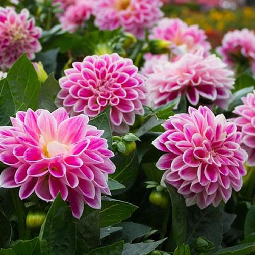 les bulbes à fleurs