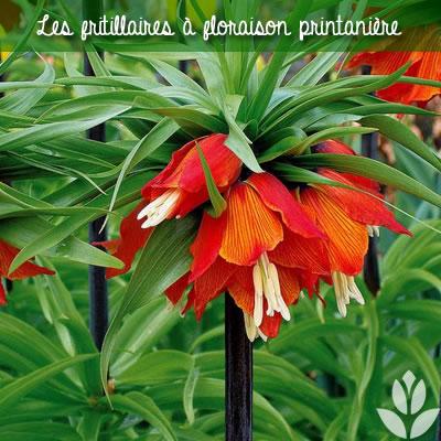 fritillaires à floraison printanière
