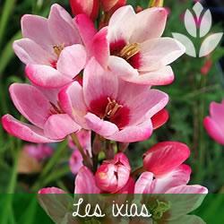 les ixias à floraison printanière