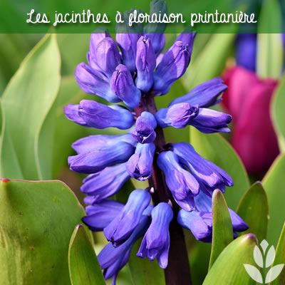 les jacinthes à floraison printanière