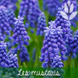 les muscaris à floraison printanière