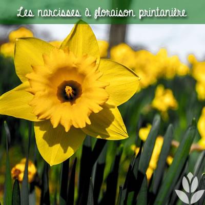 les narcisses à floraison printanière