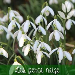 les perce neige à floraison printanière