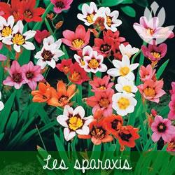 les sparaxis à floraison printanière