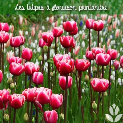 les tulipes à floraison printanière