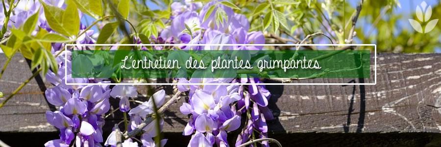 comment entretenir les plantes grimpantes du jardin ?
