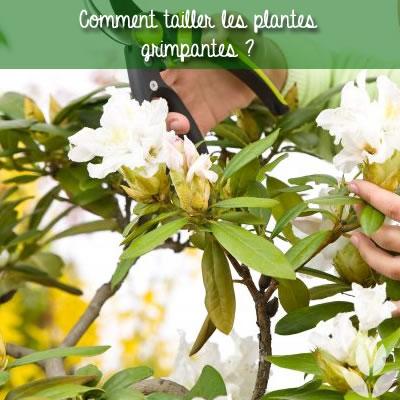 comment ailler les plantes grimpantes