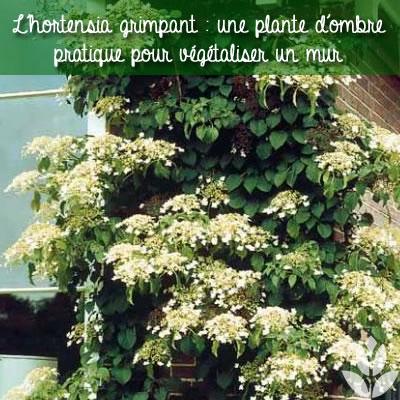 l'hortensia grimpant pour végétaliser un mur