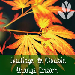 erable orange dream