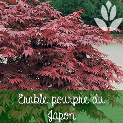 erable pourpre du Japon