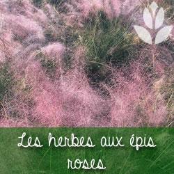 herbes aux épis roses