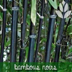 le bambou noir