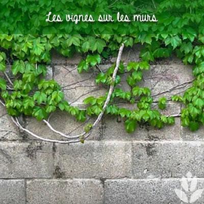 vigne sur mur