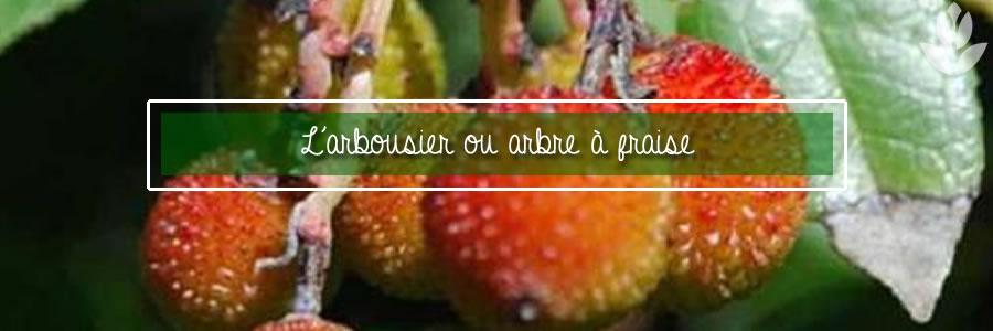 l'arbousier, arbre à fraise