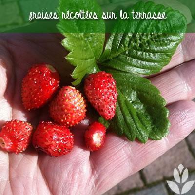 fraisiers et recolte sur la terrasse