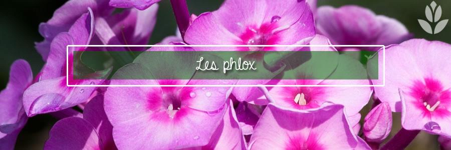les phlox pour le jardin