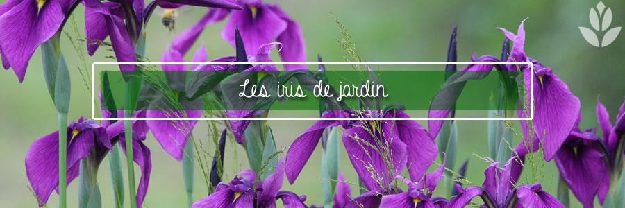 les iris de jardin