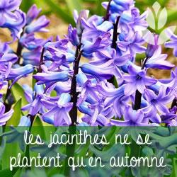 les jacinthes ne se plantent qu'en automne