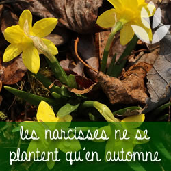 les narcisses ne se plantent qu'en automne