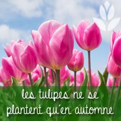 les tulipes à planter en automne
