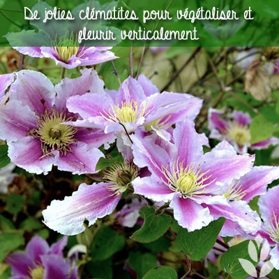 clématites pour végétaliser et fleurir verticalement