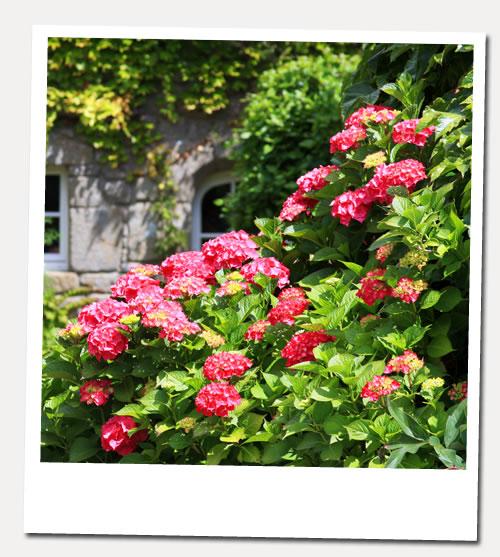 hortensias de viviane