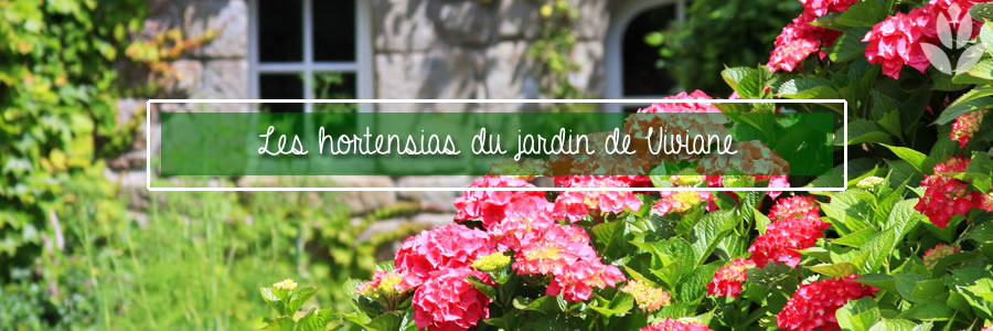 les hortensias du jardin de Viviane