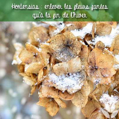 enlever les fleurs fanées des hortensias à la fin de l'hiver