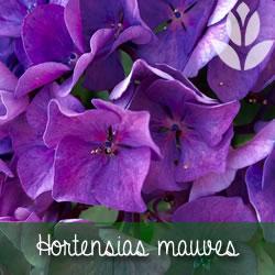 hortensias mauves