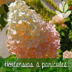 hortensias à panicules