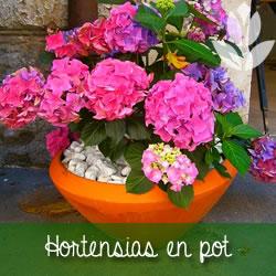 hortensias en pot