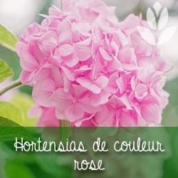 hortensias de couleur rose