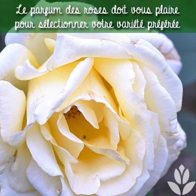 parfum des roses