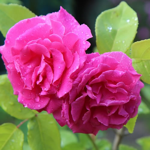 comment choisir son rosier