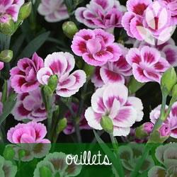 oeillets de jardin