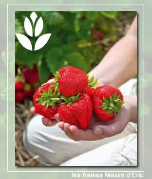 fraise Maxim