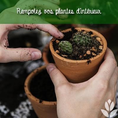 rempotez les plantes d'intérieur