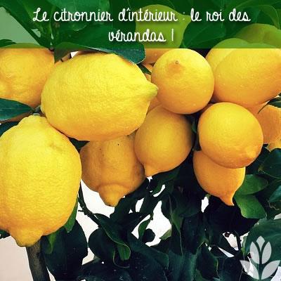 le citronnier roi des vérandas