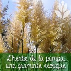 l'herbe de la pampa