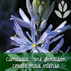 camassia floraison courte et intense