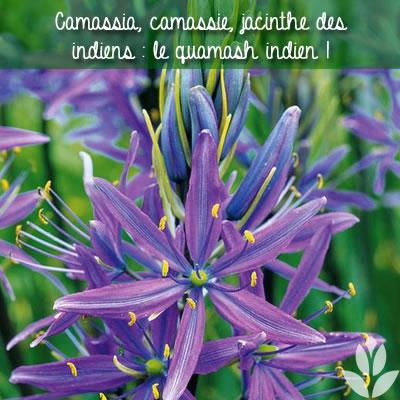 quamash indien plante
